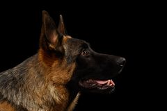 Closeup German Shepherd in Profile on Black Royalty Free Stock Photos