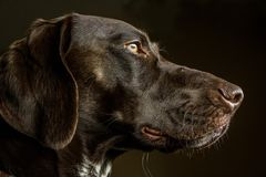 Closeup of a German Shorthair Pointer Hunting Dog. In Profile Royalty Free Stock Images