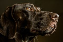 Closeup of a German Shorthair Pointer Hunting Dog. In Profile Stock Photo
