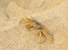 Closeup of a Ghost Crab at the Beach Stock Photography