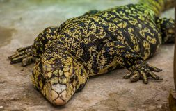 Closeup of a giant argentine giant tegu, big tropical lizard from America, popular pet in herpetoculture. A closeup of a giant argentine giant tegu, big tropical stock images