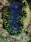 Closeup of Giant Clam Mouth Royalty Free Stock Images