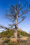 Closeup of a giant dead tree on rocks, high altitude in the mountain woods, blue sky and green forest background. Destroyed by ins Royalty Free Stock Photography