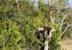Closeup of a Giant Eland antelope. The Giant Eland antelope is largest entelope in the world Stock Images