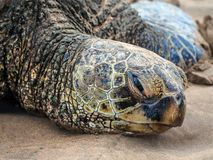 Closeup of giant green sea turtle Royalty Free Stock Photo