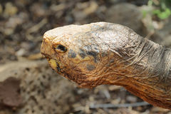 Closeup of a giant male tortoise in Santa Cruz Stock Photography