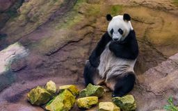 Closeup of a giant panda bear sitting against a rock, Vulnerable animal specie from Asia stock image