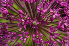 Closeup Giant Purple Allium Flower Stock Photography