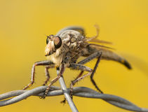Closeup of a Giant Robber Fly on a wire Royalty Free Stock Photo