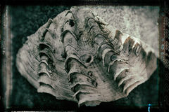 Closeup of a giant shell on the stone Stock Image