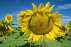 Closeup of a Giant Sunflower royalty free stock image