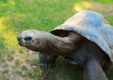 Closeup giant tortoise on green Stock Photo