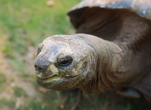 Closeup giant tortoise looking Stock Photo