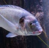 Closeup of a gilt head sea bream, a big fish from the atlantic ocean royalty free stock photo