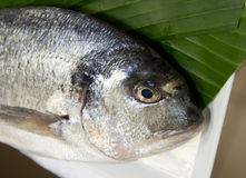 Closeup of gilthead bream Stock Photography