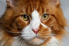 Closeup ginger Maine Coon cat Royalty Free Stock Photography