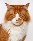 Closeup ginger Maine Coon cat Royalty Free Stock Photos