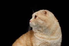 Closeup Ginger Scottish Fold Cat Looking back isolated on Black Royalty Free Stock Photography