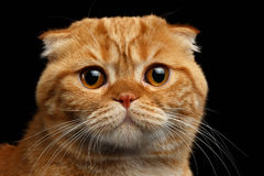 Closeup  Ginger Scottish Fold Cat Looking in camera isolated on Black Royalty Free Stock Photo