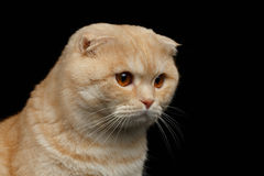 Closeup Ginger Scottish Fold Cat Looking down isolated on Black Royalty Free Stock Photography