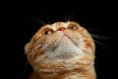 Closeup Ginger Scottish Fold Cat Looking up isolated on Black Stock Photo