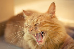 Closeup of a ginger tabby cat Royalty Free Stock Image