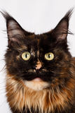 Closeup ginger tortie Maine Coon cat looking in camera. On white background Royalty Free Stock Photos