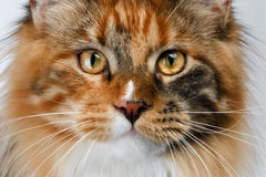 Closeup ginger tortie Maine Coon cat looking in camera. On white background Royalty Free Stock Photography