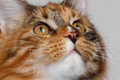 Closeup ginger tortie Maine Coon cat looking up Royalty Free Stock Photography