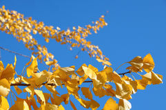 Closeup of ginkgo tree branches in autumn Stock Photos