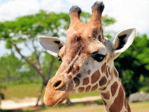 Closeup of a Giraffe Royalty Free Stock Image