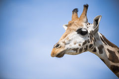 Closeup of a giraffe Royalty Free Stock Images
