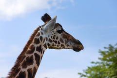 Closeup giraffe on blue sky background royalty free stock photo