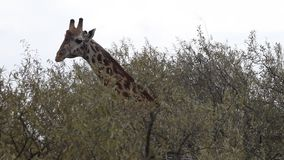 Closeup  Giraffe eating leaves of a tree. stock footage