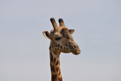 Closeup Giraffe. Face straight on Royalty Free Stock Photography