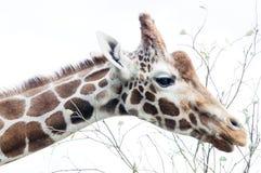 Giraffe feeding Royalty Free Stock Image