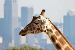 Giraffe head with city skyline in background. Closeup of a giraffe head with a cityscape in the background. Taken in Sydney zoo. Wildlife meets civilisation Stock Images