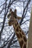 Closeup of Giraffe head in Denver Zoo royalty free stock photos