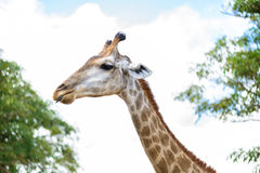 Closeup giraffe head Stock Image