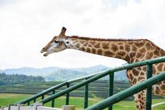 Closeup giraffe head Stock Photos