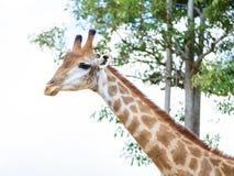 Closeup giraffe head Royalty Free Stock Photo