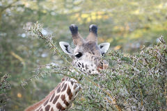 Closeup of a Giraffe in the jungle Royalty Free Stock Image