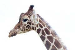 Giraffe head. Closeup of giraffe with long neck and head Royalty Free Stock Photos