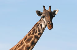 Closeup of Giraffe's head Royalty Free Stock Photos