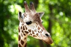 A closeup of a giraffe`s head with a blurred green background. royalty free stock images