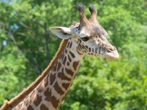 Closeup of giraffe's neck and head Royalty Free Stock Image