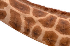 Closeup on Giraffe's neck Isolated on White Stock Image
