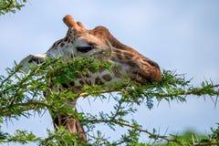 Closeup of giraffe Stock Photo