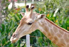 Closeup of Giraffe Royalty Free Stock Images