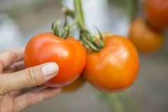Closeup girl hand holding fresh tomato, harvesting vegetable. Agriculture concept Royalty Free Stock Image